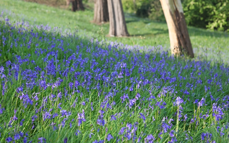 Bluebells at Cygnet Hospital Kewstoke