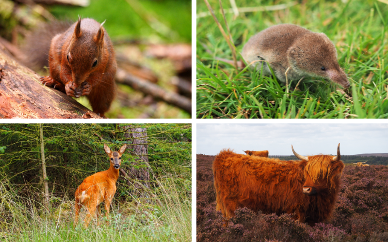 Red squirrel, shrew, red deer, highland cow